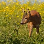 Roe deer 0606 2