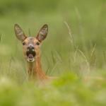 Roe deer 0611