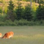 Roe deer 0615