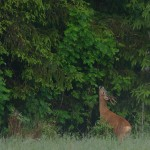 Roe deer 0616