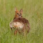 Roe deer 0616 3