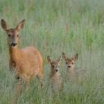 Roe deer 0622