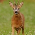 Roe deer 0716