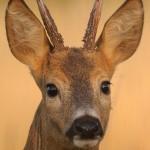 Roe deer 0717