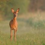 Roe deer 0728-2