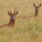 Roe deer 0729
