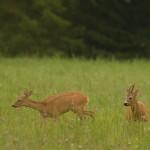 Roe deer 0731