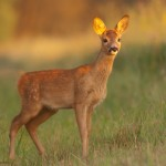 Roe deer 0731-2