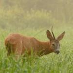 Roe deer 0803-3