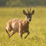 Roe deer 0804