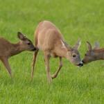 Roe deer 0808-2