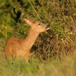 Roe deer 0901 2
