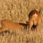 Roe deer 0901 3