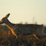 Roe deer 0929