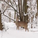 Roe deer 1128