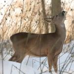 Roe deer 1130
