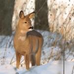 Roe deer 1130-2