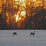 Roe deer 1130-3