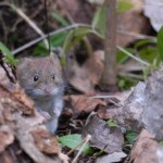 Small rodents 0213