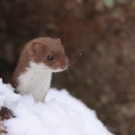 Weasel family 0320a