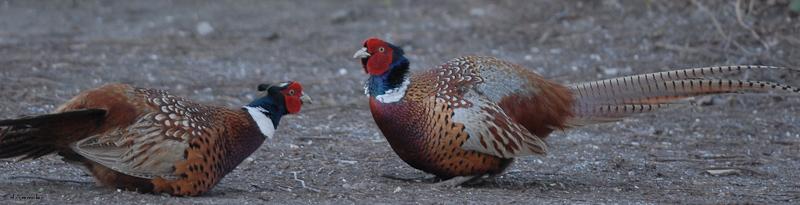 Pheasants 02