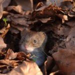 Small rodents 0403