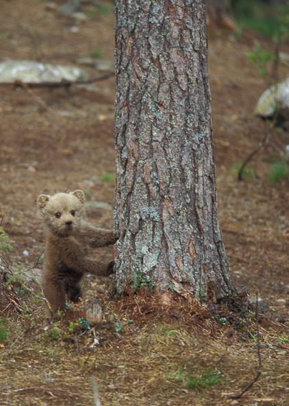 Bjørneunge nede fra træ