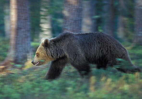 Bjørn i trav
