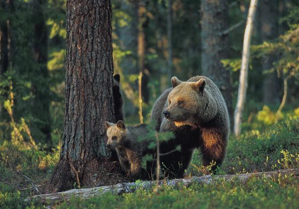 Bjørnemor med to unger