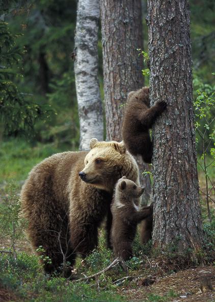 Bjørnemor med tre unger