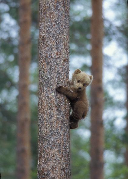 Bjørneunge i træ