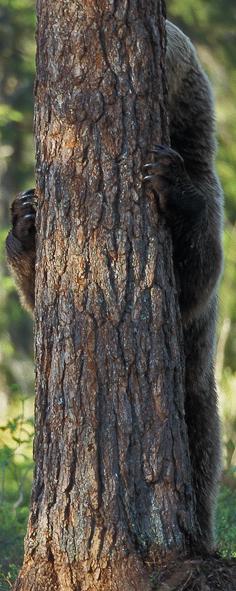 Hvor er bjørnemor -