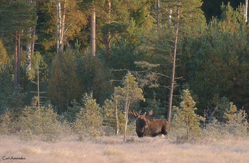 Skånes største elg - e