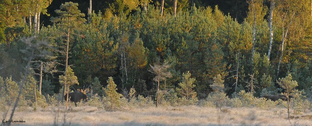 Skånes største elg - a