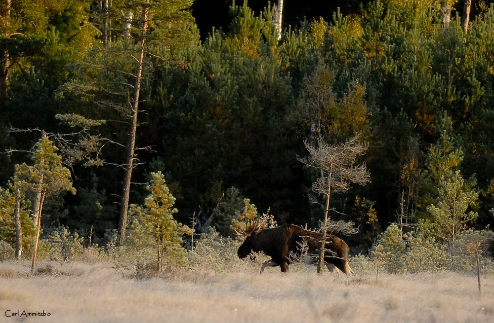 Skånes største elg - c