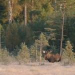 Skånes største elg - d