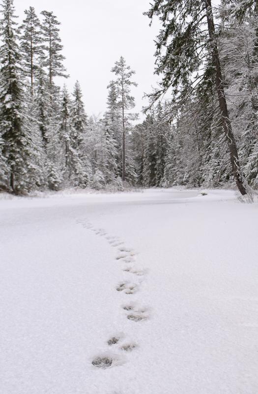 2014-12-29 Ulvespor på elven 02