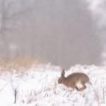 05 - Hare - 03b - Himmelev Skov