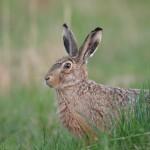 05 - 0417 - Hare 0 - 01 - Roskilde