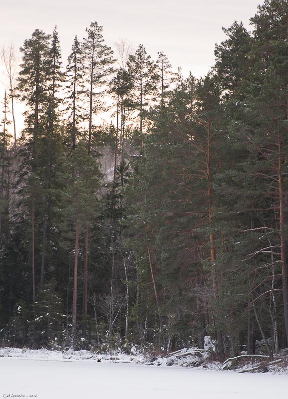 billeder af ulvespor