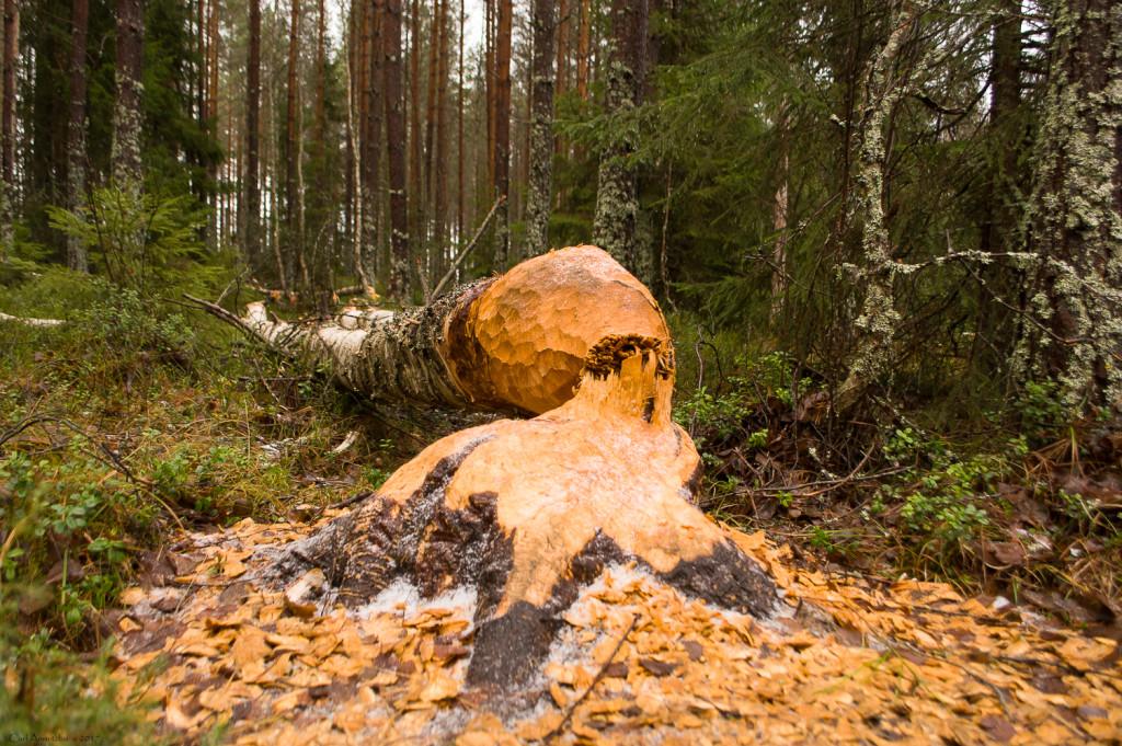 07 - 1126 - Bæverfældet birk - 01 - Bergslagen