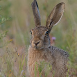 05 - 0807 - Hare - A06 - Roskilde