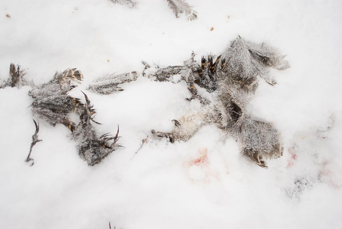 Død hønsefugl