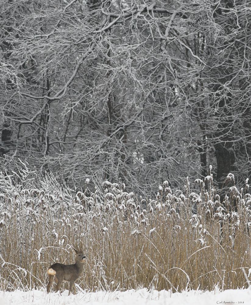 02 - 0308 - Råbuk i sne og siv - 01a - Roskilde