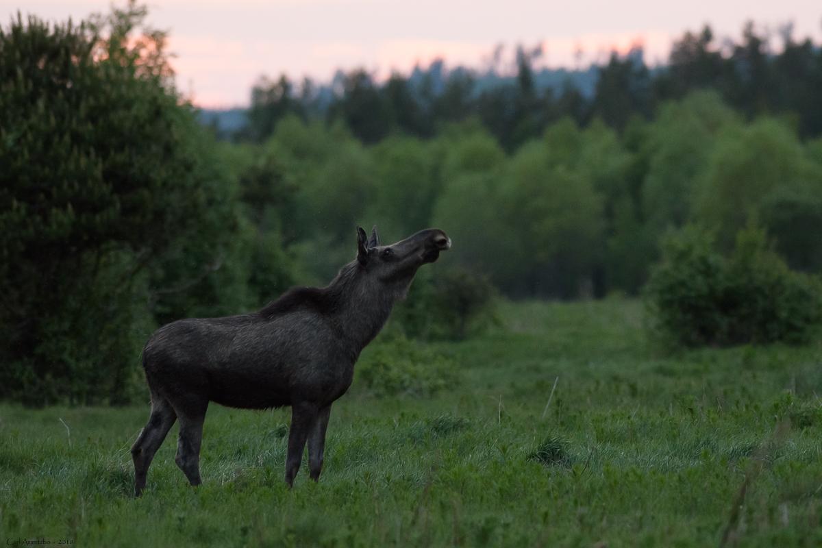 03 - 0521 - Elg vejrer - 01a - Bergslagen