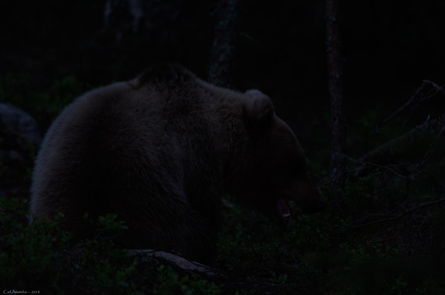 07 - 0521 - Brun bjørn - 99 - Bergslagen