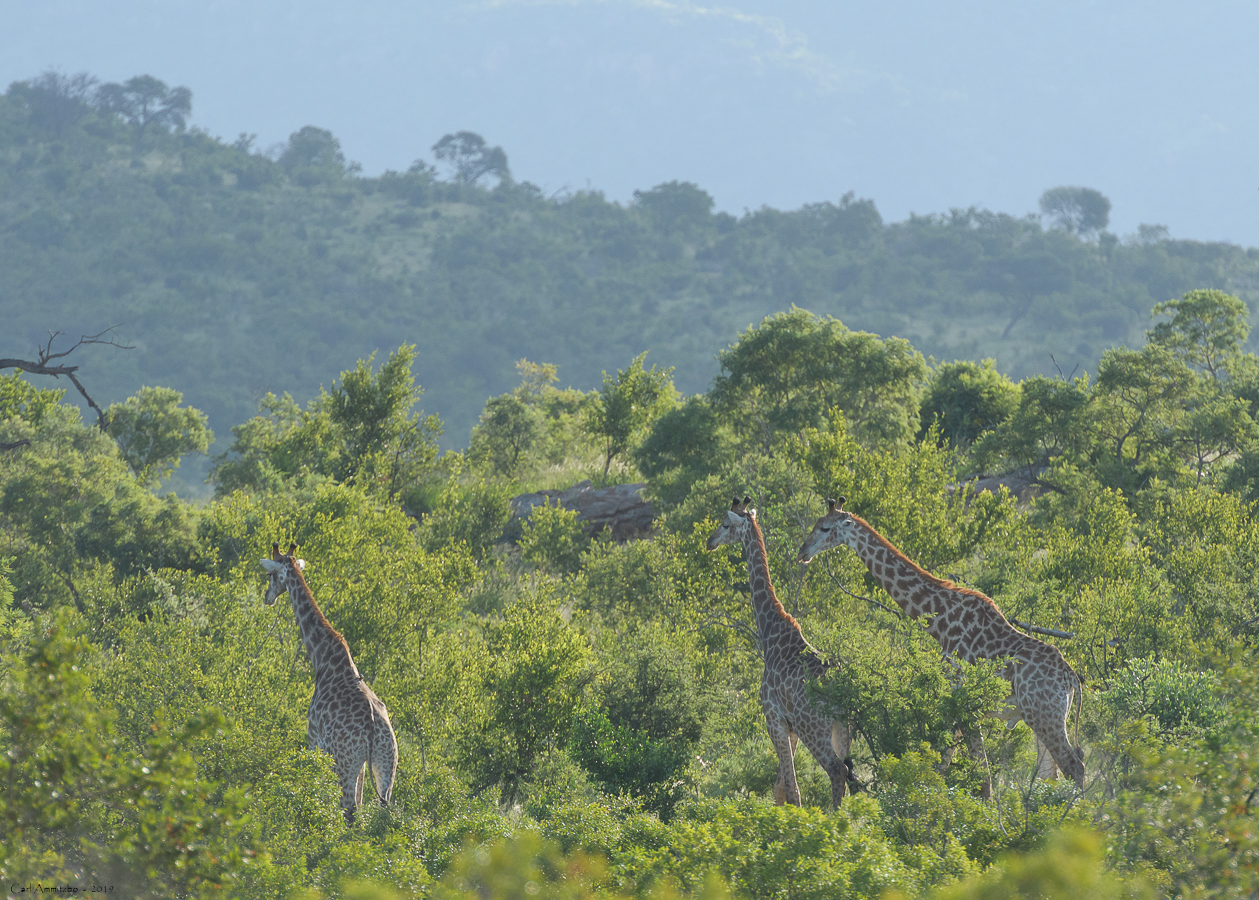 07 - 0217 - Giraf - 01 - Kruger