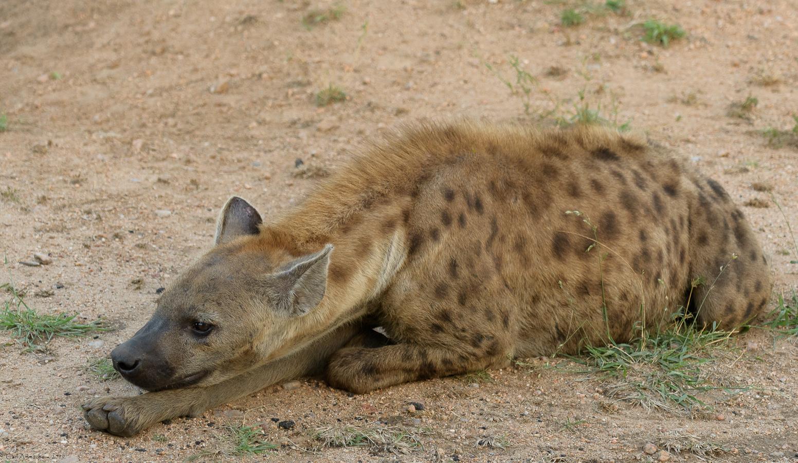 07 - 0217 - Plettet hyæne - 01 - Kruger