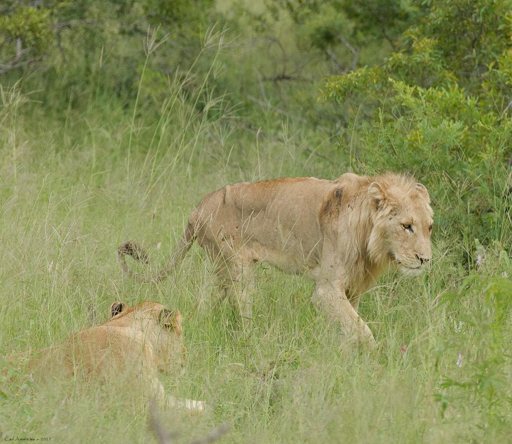 07 - 0218 - Løve - 03 - Kruger