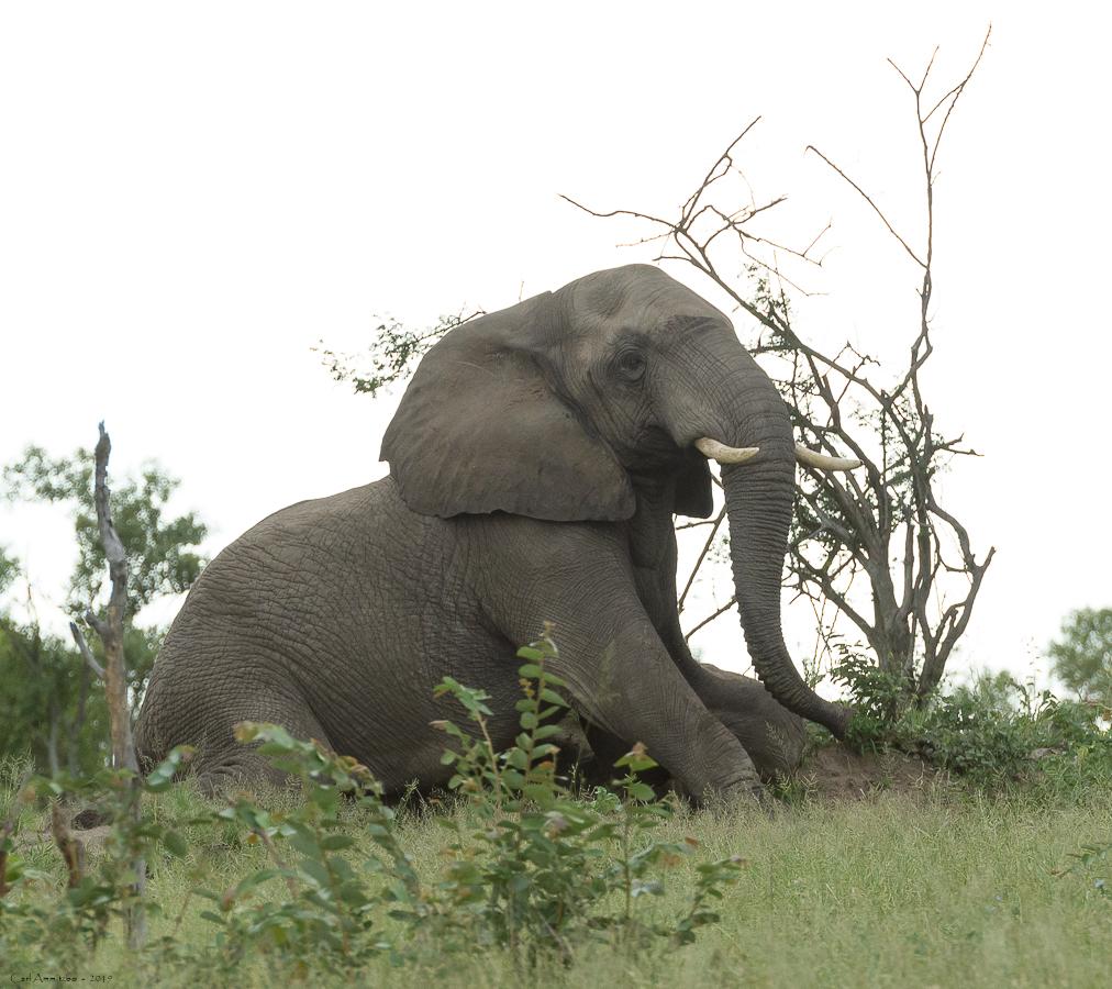 07 - 0218 - Liggende elefant - 02 - Kruger